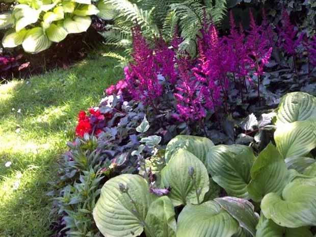 астильба фото в саду