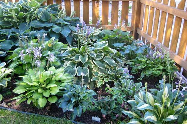 хоста в саду фото