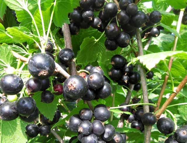 черная смородина сорт Деликатес