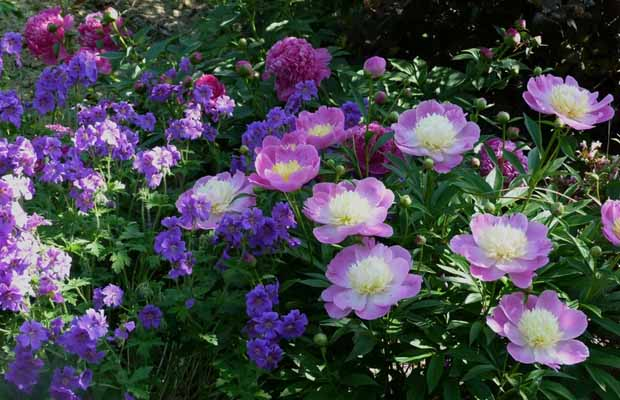 цветущие пионы фото