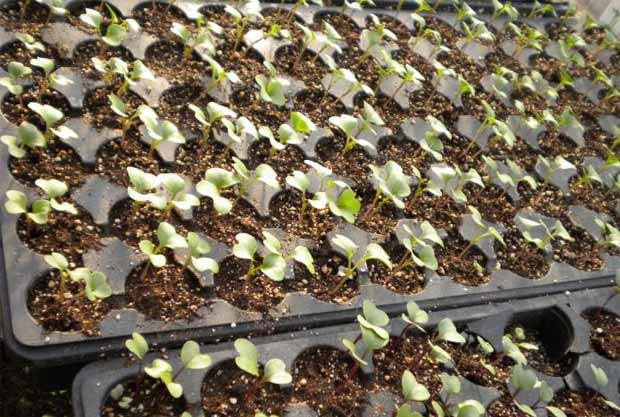 как вырастить рассаду капусты